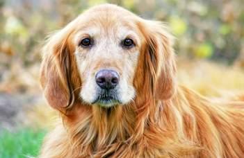 Mi a kutyák szerepe az emberi öregedés genetikai kutatásában?