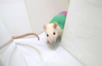 Egy eredményes patkány a saját feje után megy, de azért figyel társaira