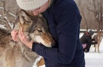 Adult wolves miss their human handler in separation similar to dogs