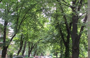 Több tonnányi ólmot szűrnek ki a fák levelei a főváros légköréből
