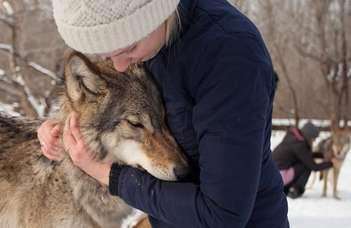 A farkasok hasonlóan hiányolják a nevelőjüket, mint a kutyák a gazdájukat