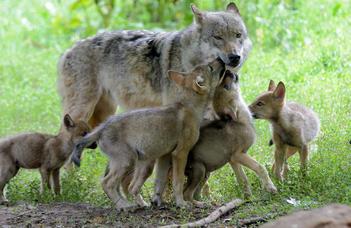 Egy új elmélet szerint a felesleges fehérje tette lehetővé a farkas háziasítását