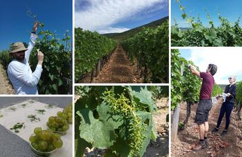 A furmint szőlőfajta hajtásaiban rejtőzködő diverzitás