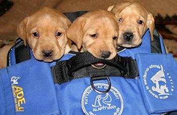 Önállóbbak a segítő munkára képzett kutyák