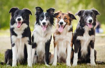 Melyik kutya a ragaszkodóbb?